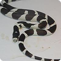 Snake for adoption in Brooklyn, New York - California King Snake