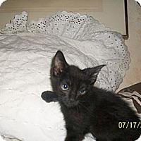 Adopt A Pet :: 10 reasons to pick a black kit - Palm Springs, CA