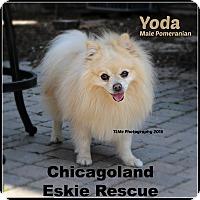 Adopt A Pet :: Yoda - Elmhurst, IL