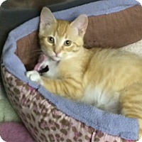 Adopt A Pet :: Marmalade - Byron Center, MI
