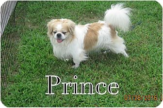 Pekingese/Japanese Chin Mix Dog for adoption in Greensboro, Maryland - Prince