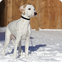 Adopt A Pet :: Pollo - Ile-Perrot, QC