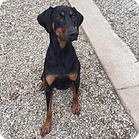 Adopt A Pet :: Apollo - Manchester, MO