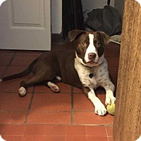 English Pointer/Labrador Retriever Mix Dog for adoption in Waterbury, Connecticut - Jesse