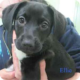 Sheltie, Shetland Sheepdog Mix Puppy for adoption in Warren, Pennsylvania - Ellie