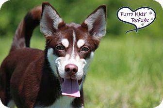 Siberian Husky Mix Dog for adoption in Lee's Summit, Missouri - Winnie