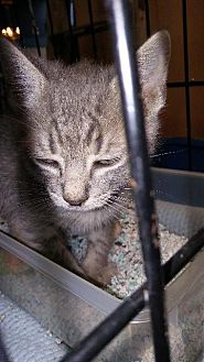 Domestic Shorthair Kitten for adoption in Raleigh, North Carolina - Tia