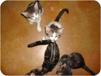 Domestic Shorthair Kitten for adoption in Lake Charles, Louisiana - The Crew of the SS Minnow