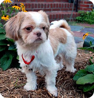 Shih Tzu Mix Dog for adoption in Loudonville, New York - Charlie