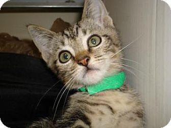 Domestic Shorthair Cat for adoption in Miami, Florida - Leona