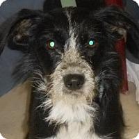 Adopt A Pet :: Cinder - Lockhart, TX