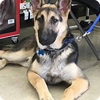 Adopt A Pet :: NICHOLAS - SAN ANTONIO, TX