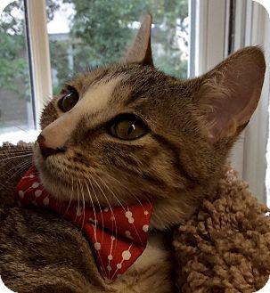 Domestic Shorthair Kitten for adoption in Beaufort, South Carolina - Peter