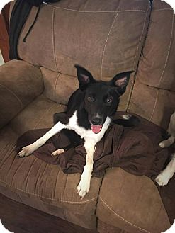 Border Collie Mix Dog for adoption in Allen, Texas - Lace