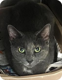 Domestic Shorthair Cat for adoption in Manteo, North Carolina - Loretta