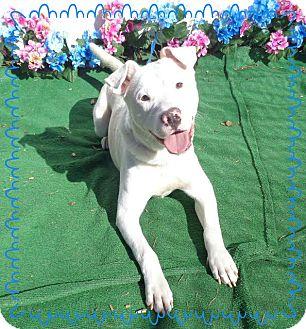 Labrador Retriever/Terrier (Unknown Type, Medium) Mix Dog for adoption in Marietta, Georgia - MALCOLM-see video