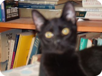 Domestic Shorthair Kitten for adoption in Scottsdale, Arizona - Miss Bliss or Miss Holly