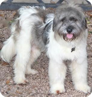 Tibetan Terrier/Havanese Mix Dog for adoption in Norwalk, Connecticut - Bracken -adoption pending