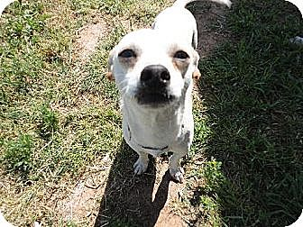 Chihuahua Dog for adoption in Fresno, California - Rhodie Kerns