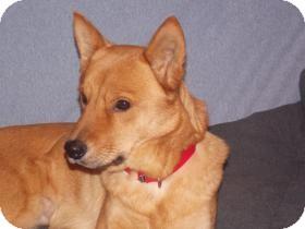 Shiba Inu Mix Dog for adoption in Rochester/Buffalo, New York - Nala