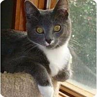 Adopt A Pet :: Mitts - Port Republic, MD