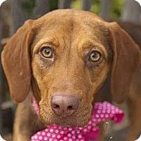 Adopt A Pet :: ZOEY - Carrollton, TX