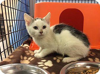 Domestic Shorthair Kitten for adoption in Janesville, Wisconsin - Forrest