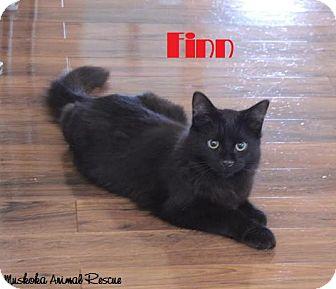 Domestic Mediumhair Kitten for adoption in Huntsville, Ontario - Finn - Extremely Playful!