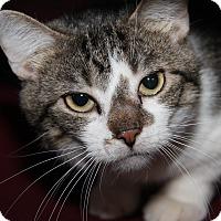 Adopt A Pet :: Sylvester Stallone - Marietta, OH