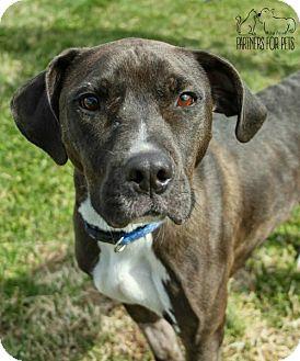 Labrador Retriever/Terrier (Unknown Type, Medium) Mix Dog for adoption in Troy, Illinois - PeeWee NKA Nitro