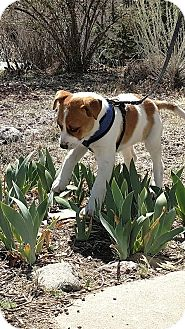 Australian Cattle Dog/Labrador Retriever Mix Puppy for adoption in Pena Blanca, New Mexico - LEXI