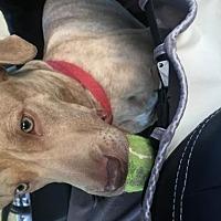 Adopt A Pet :: Rocket - California - Fulton, MO