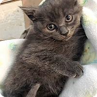 Adopt A Pet :: Jewel - Dumfries, VA