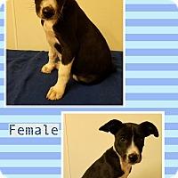 Adopt A Pet :: Opal meet me 6/2 - Manchester, CT