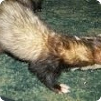 Adopt A Pet :: Stash - Spokane Valley, WA