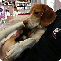 Adopt A Pet :: Bert Beagle - Waldorf, MD