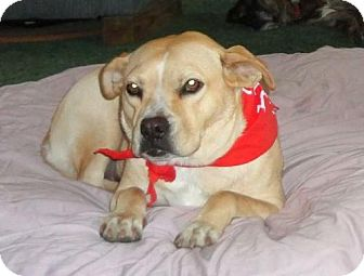 Boxer/Labrador Retriever Mix Dog for adoption in Green Cove Springs, Florida - Libby