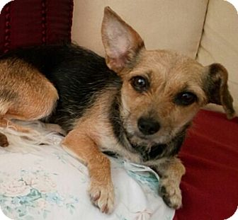 Yorkie, Yorkshire Terrier/Terrier (Unknown Type, Small) Mix Dog for adoption in Los Angeles, California - Libby