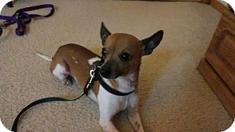 Chihuahua Mix Dog for adoption in Lewistown, Pennsylvania - Rudy