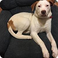 Adopt A Pet :: Miller - Cary, NC