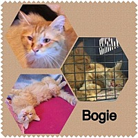 Adopt A Pet :: Bogie - Surprise, AZ