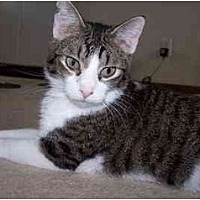 Domestic Shorthair Cat for adoption in Sheboygan, Wisconsin - Jesse