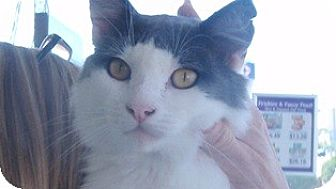 Domestic Mediumhair Cat for adoption in Pasadena, California - Leo