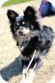 Chihuahua/Papillon Mix Dog for adoption in Justin, Texas - Riley