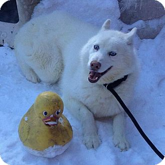 Siberian Husky Dog for adoption in Long Beach, New York - Maxwell