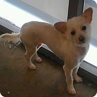 Adopt A Pet :: Hannah - non shed MORKIE - Phoenix, AZ
