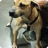 Boxer Mix Dog for adoption in Alexis, North Carolina - Sophie