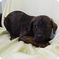 Adopt A Pet :: Rolly (POM-EC) - Brattleboro, VT