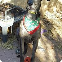 Adopt A Pet :: Sirius - Mesa, AZ