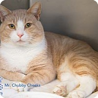 Adopt A Pet :: Mr. Chubby Cheeks - Merrifield, VA
